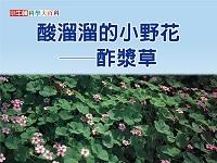 酸溜溜的小野花 [有聲書]:酢漿草